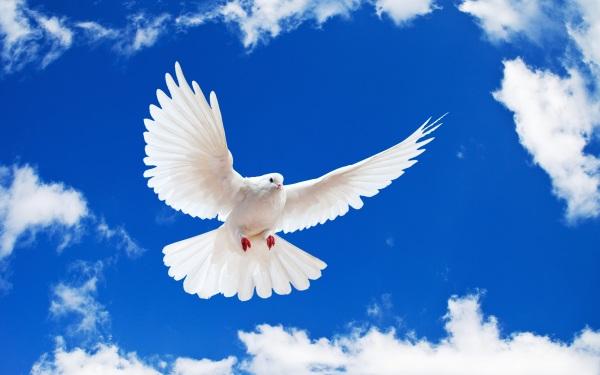 paloma-blanca-en-vuelo